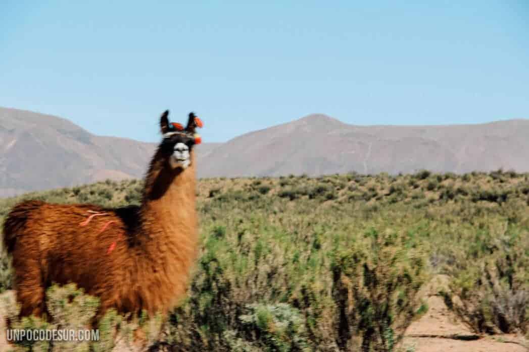 Llama Argentina