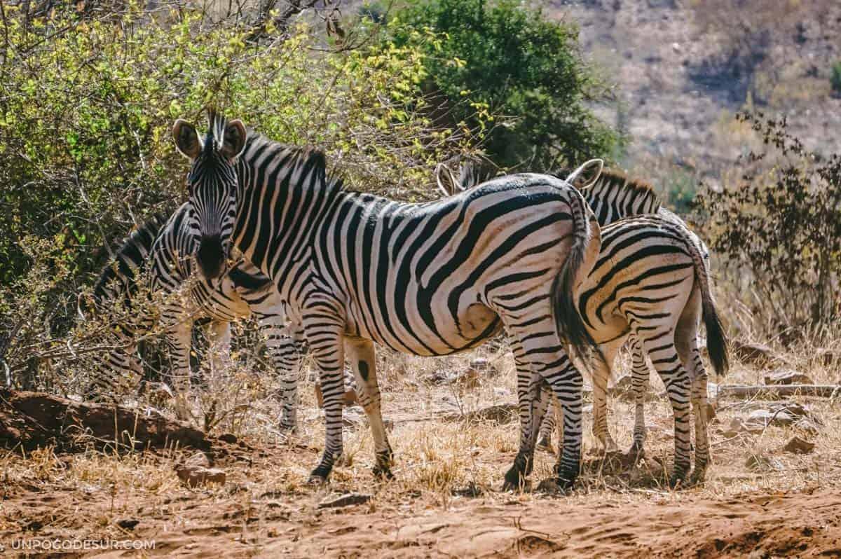 cebras en el Parque Kruger