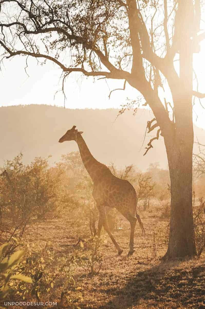Jirafas en el Parque Kruger
