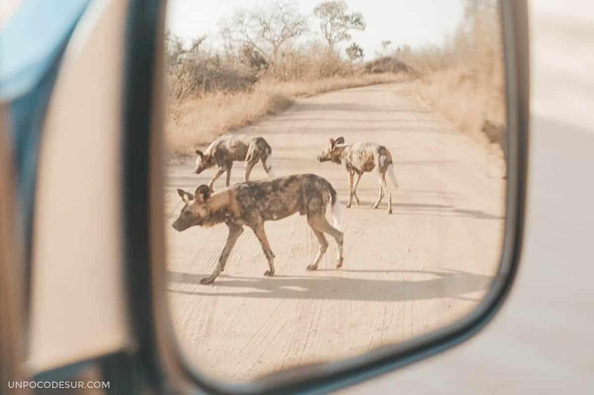 Wild dogs en el Parque Kruger